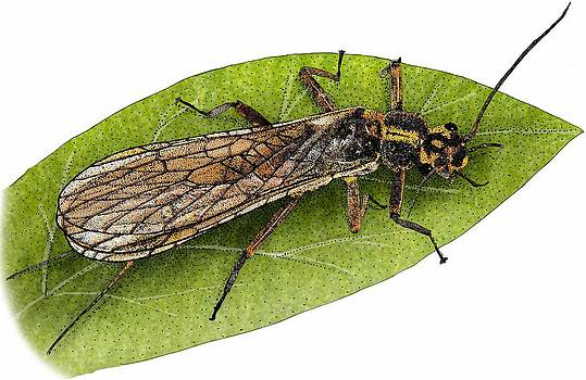 Yellow Sally Stonefly by Roger Hall