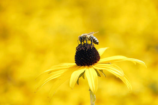 Yellow sea of flowers - and a bee by Matthias Hauser