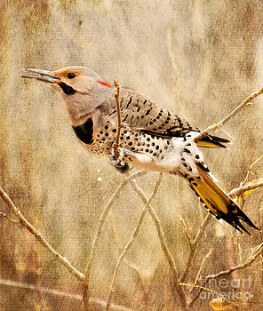 Yellow Shafted Northern Flicker by Pam  Holdsworth