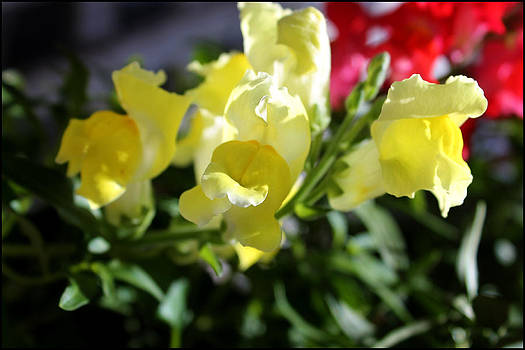 Yellow Snapdragons II by Aya Murrells