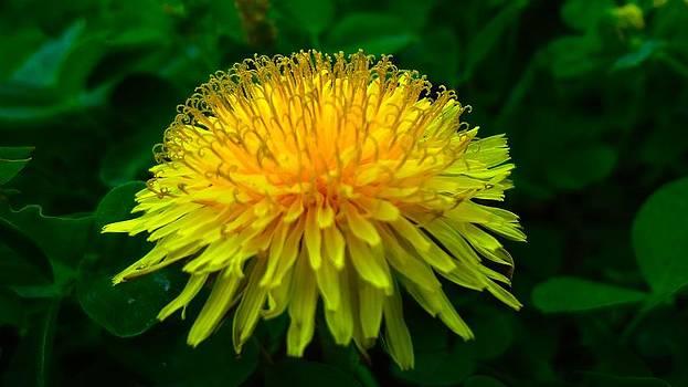 Yellow Splendor by Frederick R