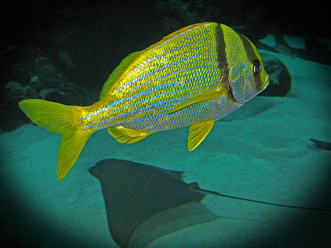 Connie Fox - Yellow Striped Fish