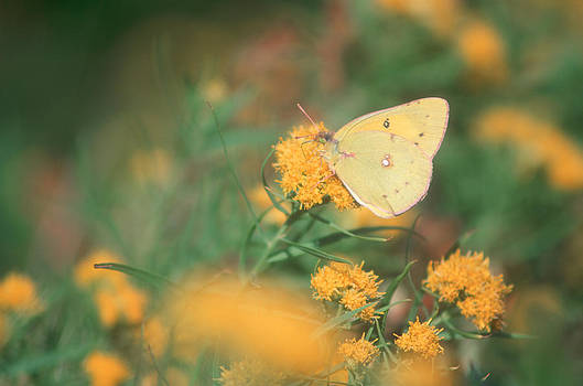 Yellow Sulfur Butterfly by Bucko Productions Photography