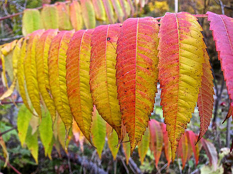 Yellow Sumac Leaves by Kathryn Barry