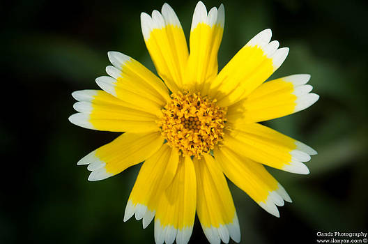 Yellow sunshine  by Gandz Photography