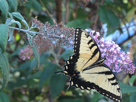 Yellow Swallowtail Butterfly by Debbie Nester