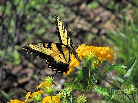 Jaclyn Hughes Fine Art - Yellow Swallowtail