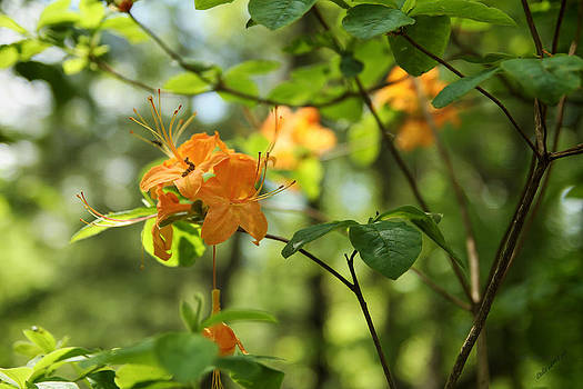 Yellow Tree Flowers by Dulce Levitz