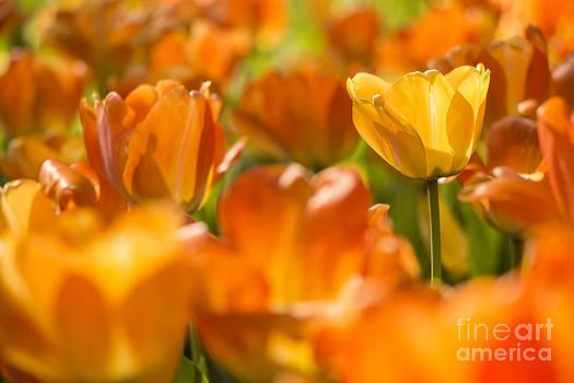 Yellow Tulip by Aduldej Sukaram