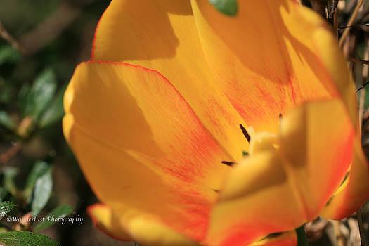 Yellow Tulip by Paul Herrmann