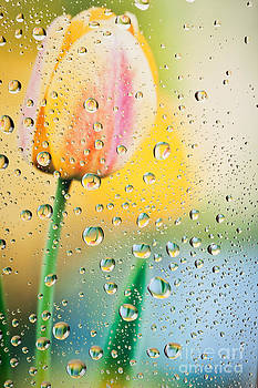 Yellow Tulip Reflecting In Water Drops by Sharon Dominick