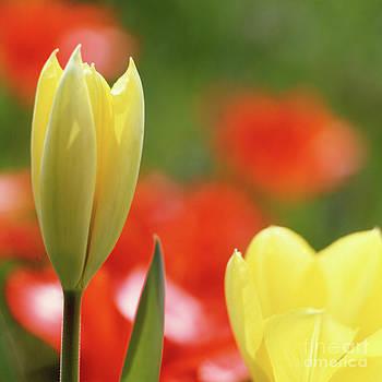 Heiko Koehrer-Wagner - Yellow tulips