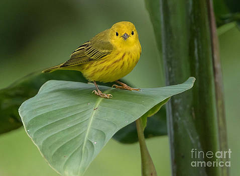Yellow warbler by George Cathcart