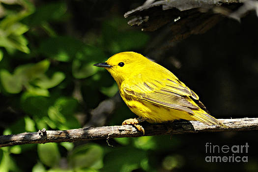 Larry Ricker - Yellow Warbler