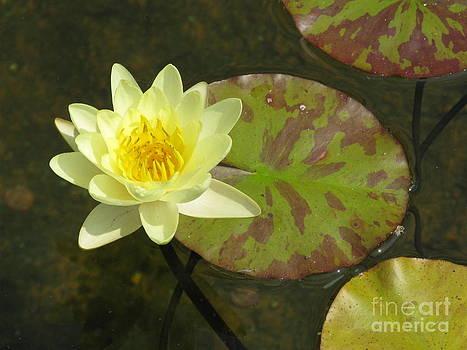 Yellow Water Lily by Ausra Huntington nee Paulauskaite
