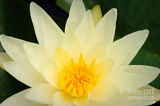 Oscar Gutierrez - Yellow Water Lily