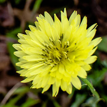 Yellow Wildflower by Gordon H Rohrbaugh Jr