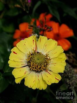 Yellow Zinnia In The Garden by Ausra Huntington nee Paulauskaite