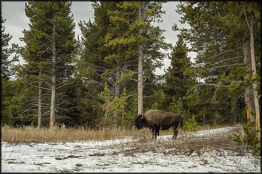 Erika Fawcett - Yellowstone Bison