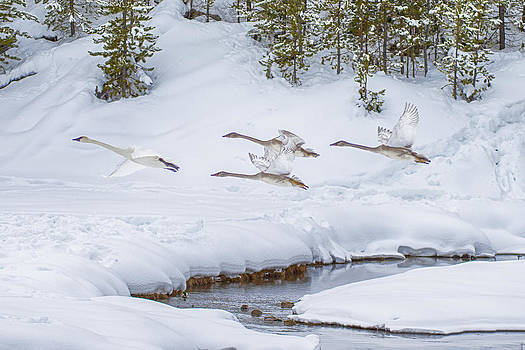 Yellowstone Geese Fly By by David Yack