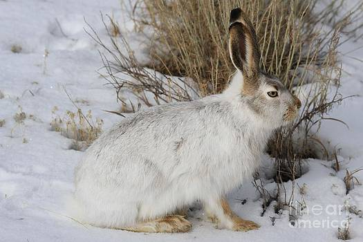 Adam Jewell - Yellowstone Jack Rabbit