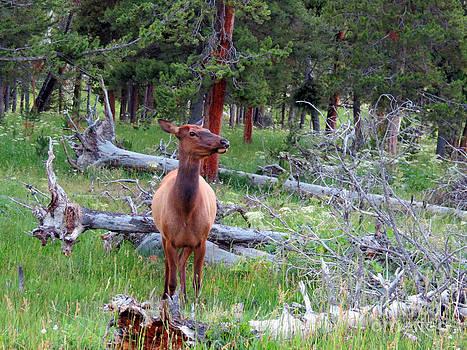 Yellowstone Moments. Doe by Ausra Huntington nee Paulauskaite