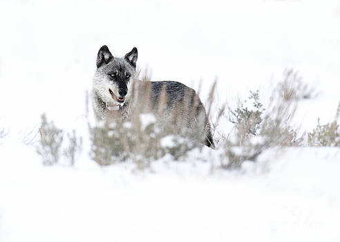 Yellowstone Wolf by Deby Dixon