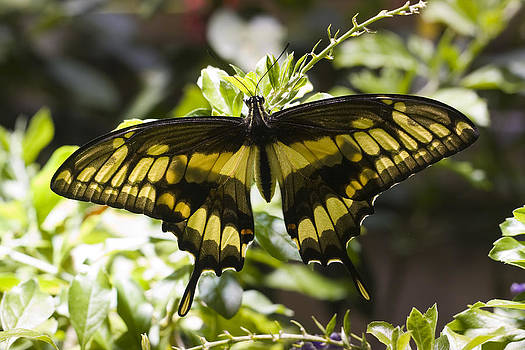 Terry Thomas - Yellowtail Butterfly
