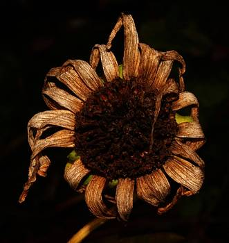 Yesterday's Blackeye Susan by Robert Morin