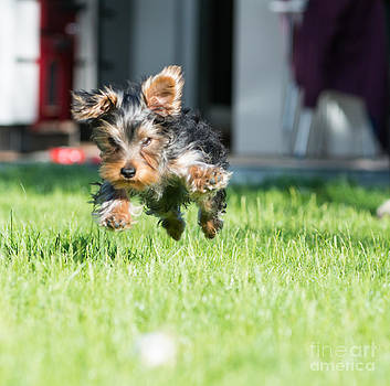 Yorkie action by Andrew  Michael