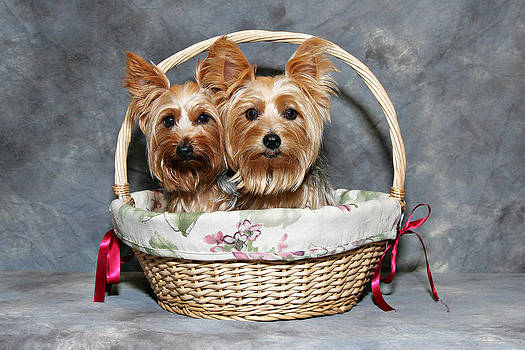 Yorkie gift basket by John Rockwood
