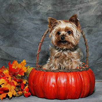 Yorkie Pumpkin Pup 2 by John Rockwood