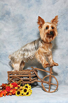 Yorkie on trike by John Rockwood