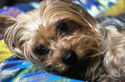 Yorkshire Terrier by Andres LaBrada