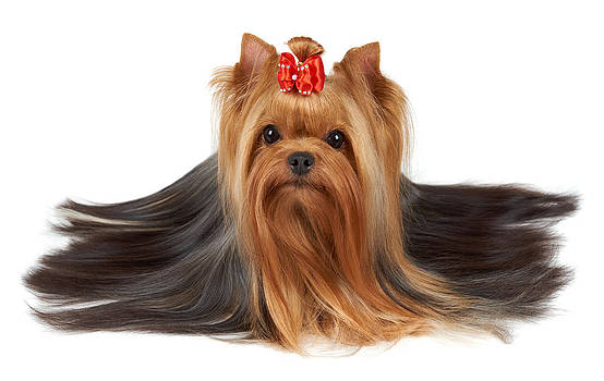 Yorkshire Terrier with beautiful long hair by Konstantin Gushcha