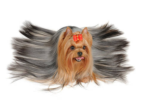 Yorkshire Terrier with long hair by Konstantin Gushcha