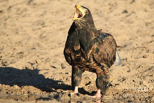Hermanus A Alberts - Young Bateleur - Call of the Wild
