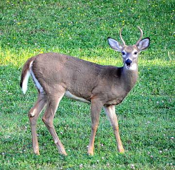 Linda Rae Cuthbertson - Young Buck Deer