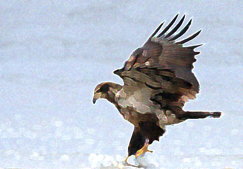 Young Eagle by Bob Richter
