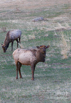 Young Elk by Erika Weber