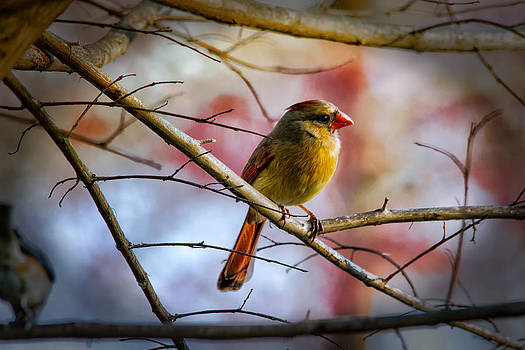 Young Female Cardinal by Barry Jones
