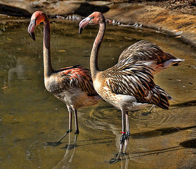 Young Flamingoes by Janet Maloy