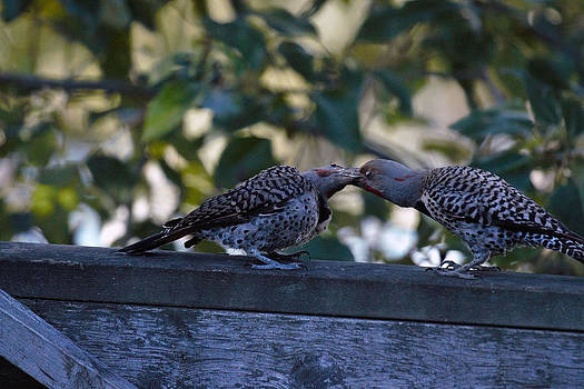 Young Flicker Feeding 1 by Ed Nicholles