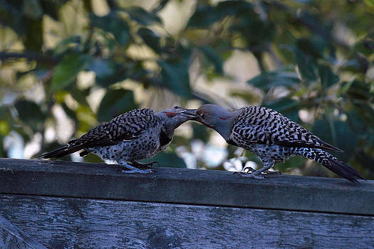 Young Flicker Feeding 2 by Ed Nicholles