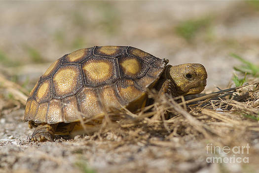 Paul Rebmann - Young Gopher Tortoise
