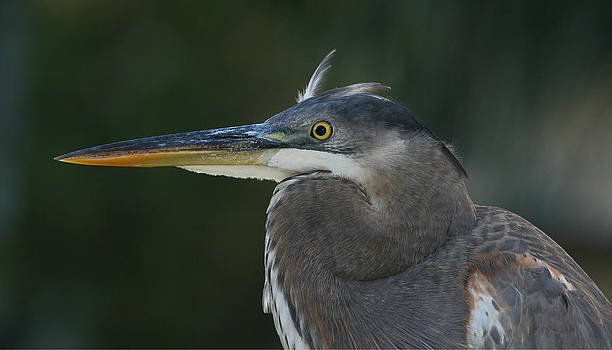 Young Great Blue Heron by Erin Tucker