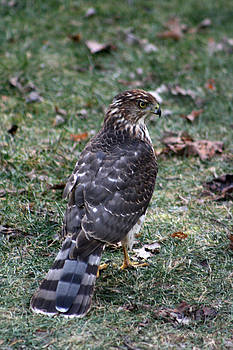Young Hawk by Kathy J Snow