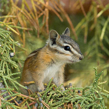 Young Least Chipmunk by Doug Herr