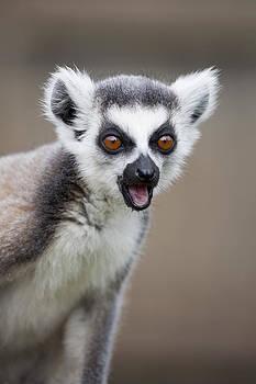 Young Lemur by Gillian Dernie
