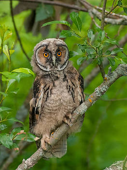 Young Long-eared owl by Janne Mankinen